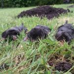 3 moles caught